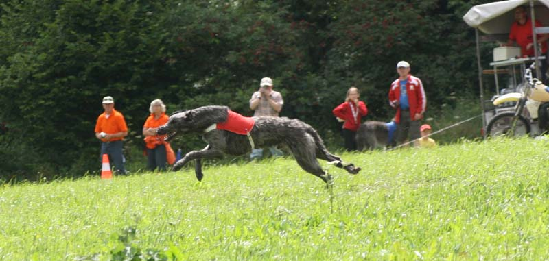 Calhoun on the road to the title European coursing champion